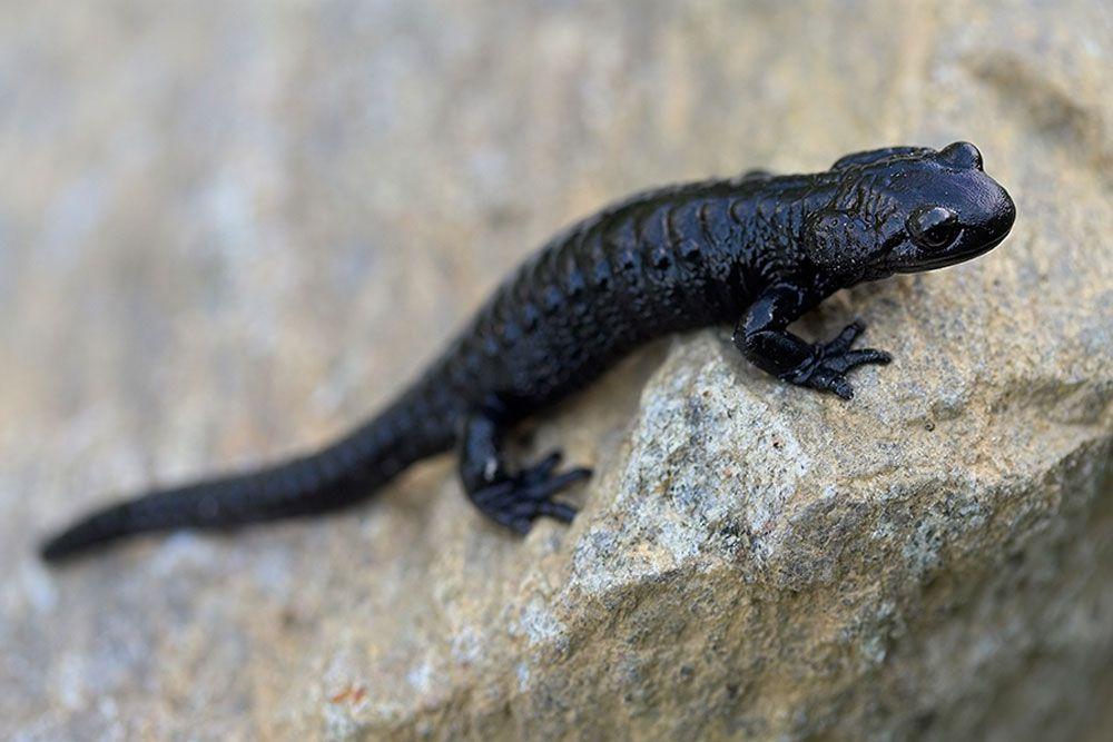 black alpine salamander