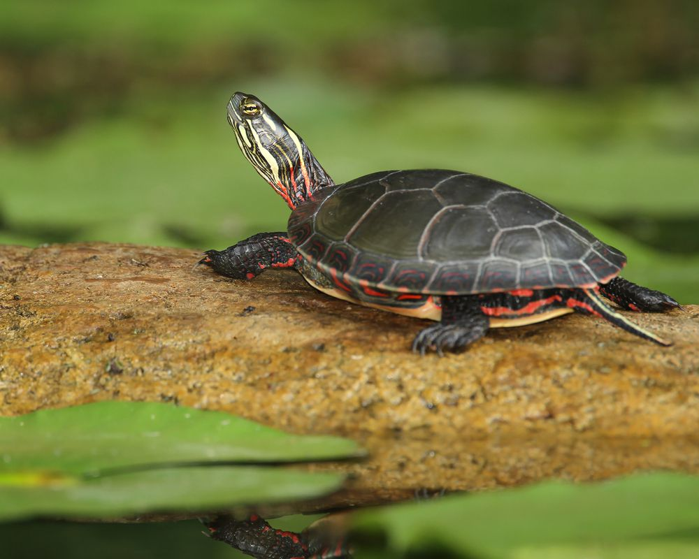 Midland painted turtle (Chrysemys picta marginata) basking on a log