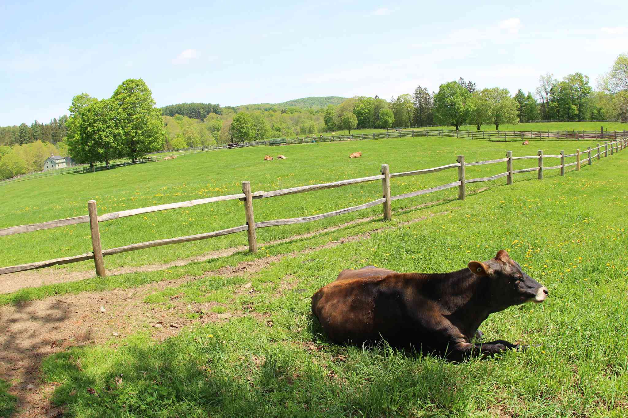 A cow lies on the ground in a grassy, fenced pasture