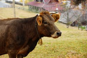 profile shot domesticated dairy cow with bell collar in front of small village