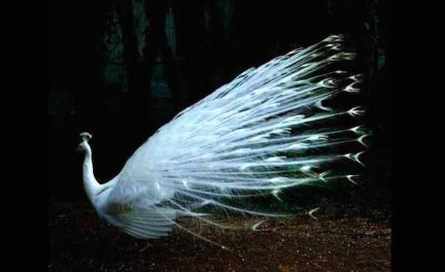 Albino Peacock Photo