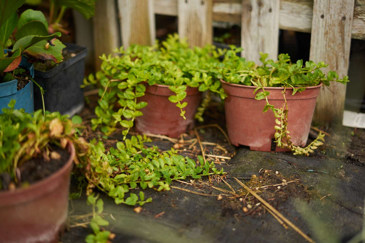 creeping jenny plant grows out of orange plant containers near wooden fence