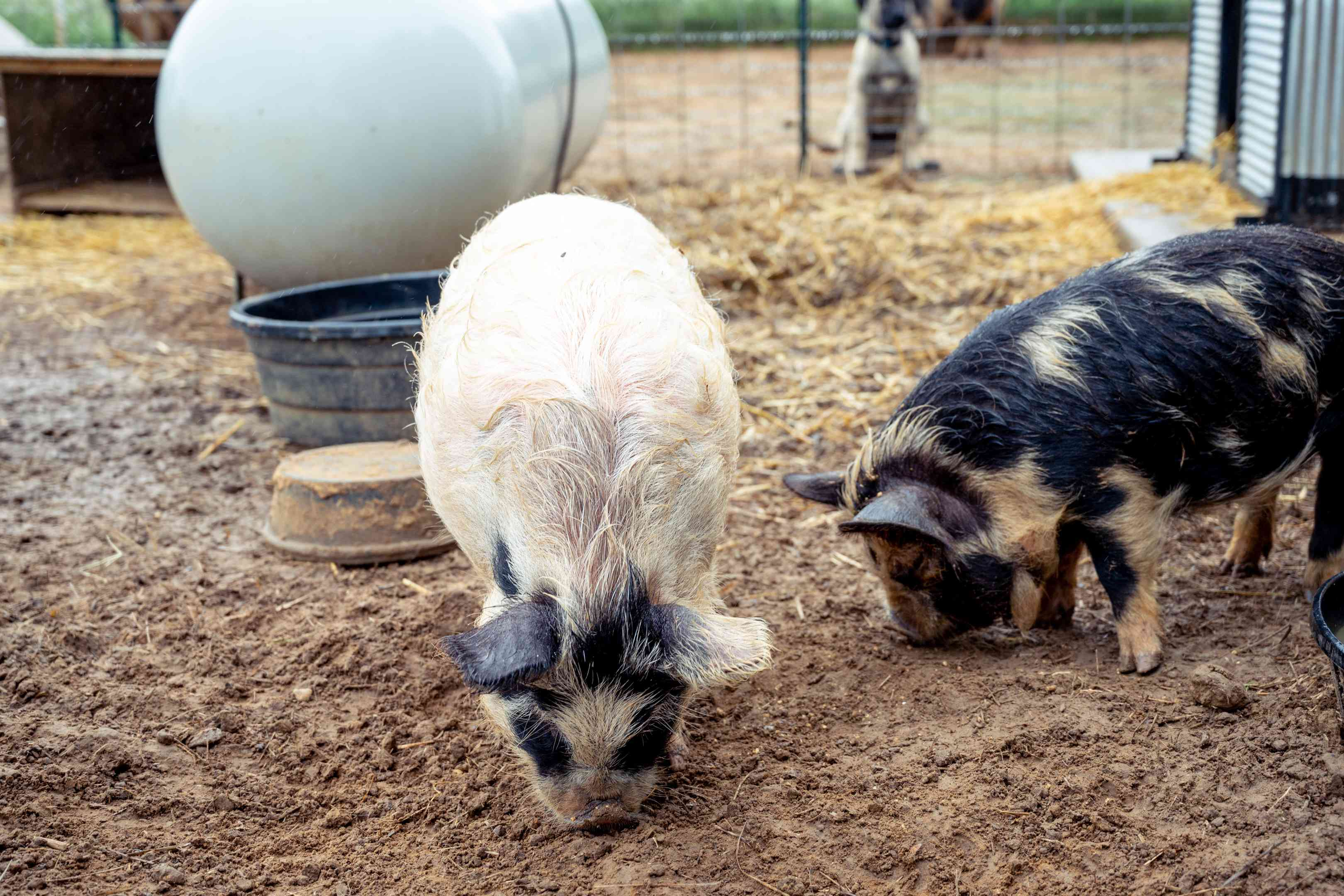 long-haired pigs nose around in muddy pit while dog watches outside fence