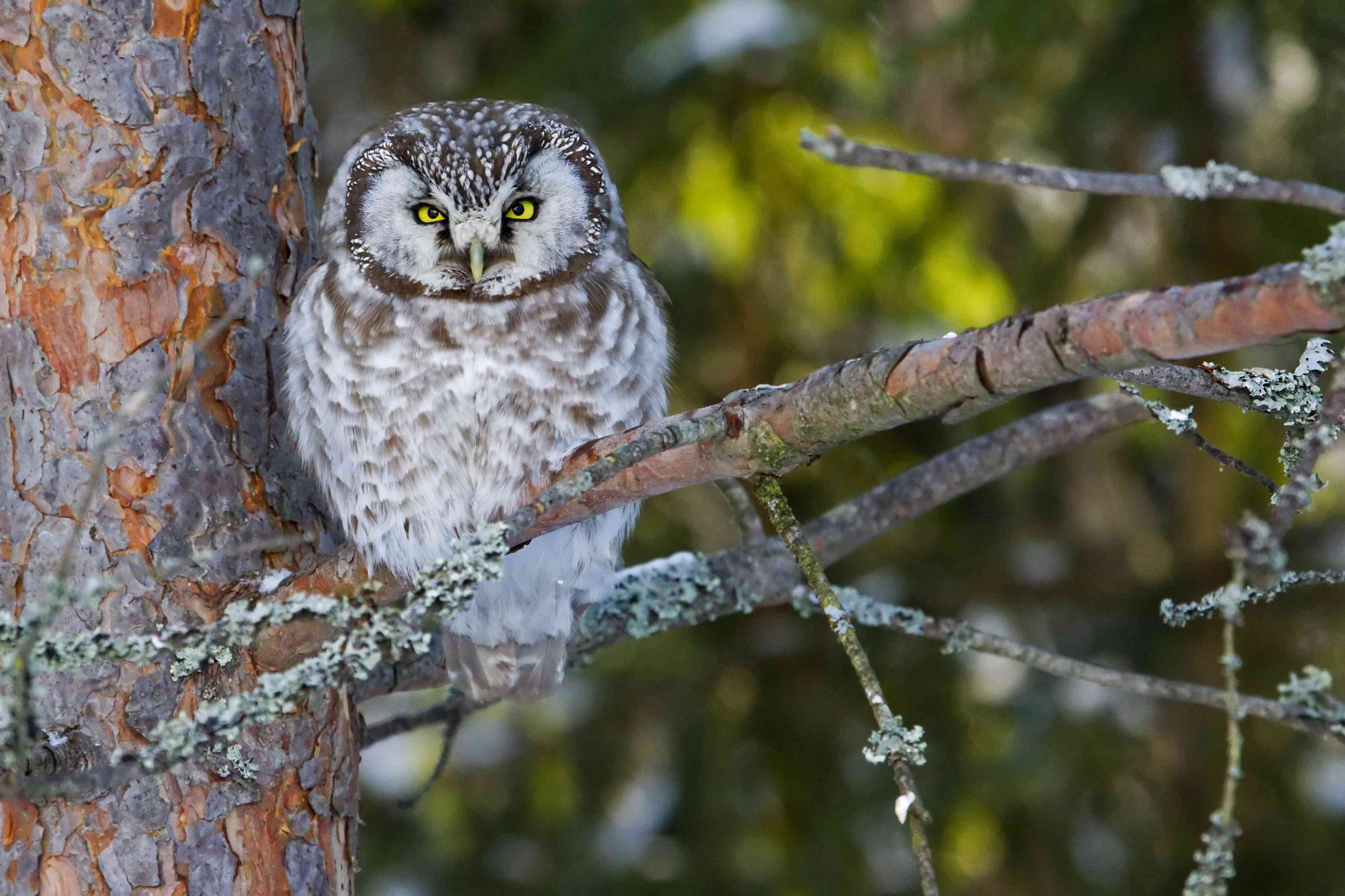 Boreal owl sitting on a branch