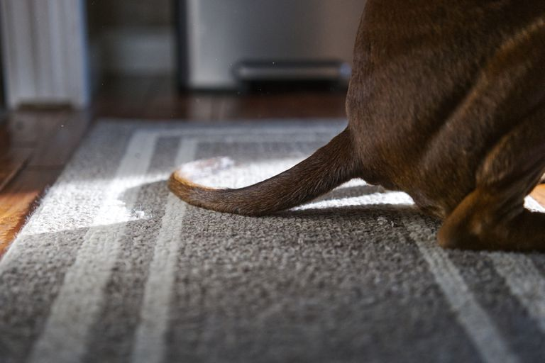short-haired brown dog crouches on gray and white rug with long tail extended