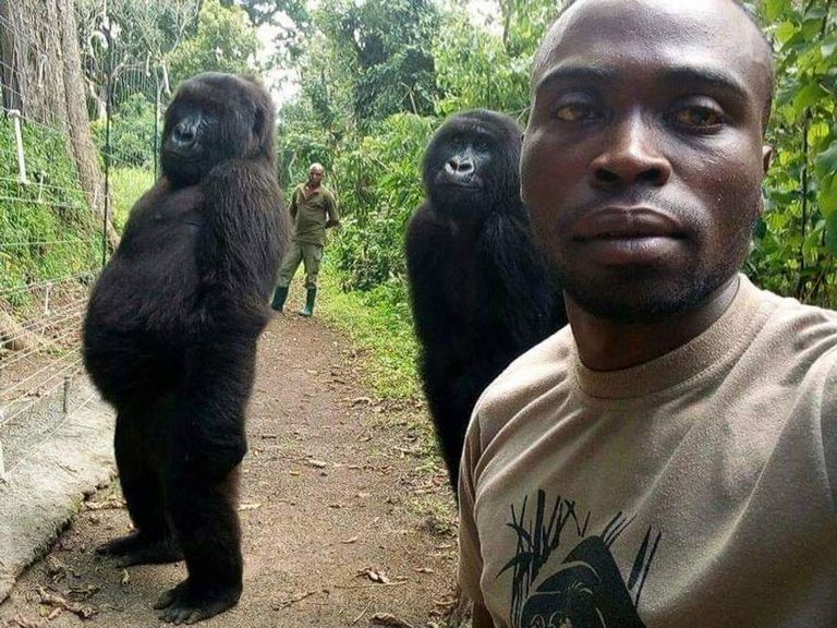 Two mountain gorillas pose with a park ranger for a selfie.