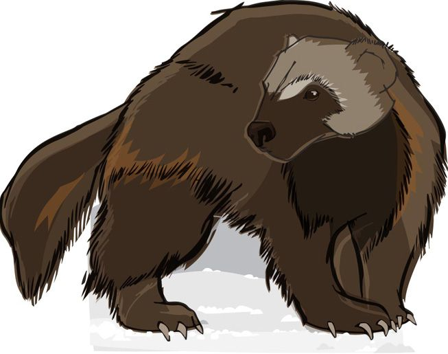 An illustration of a wolverine