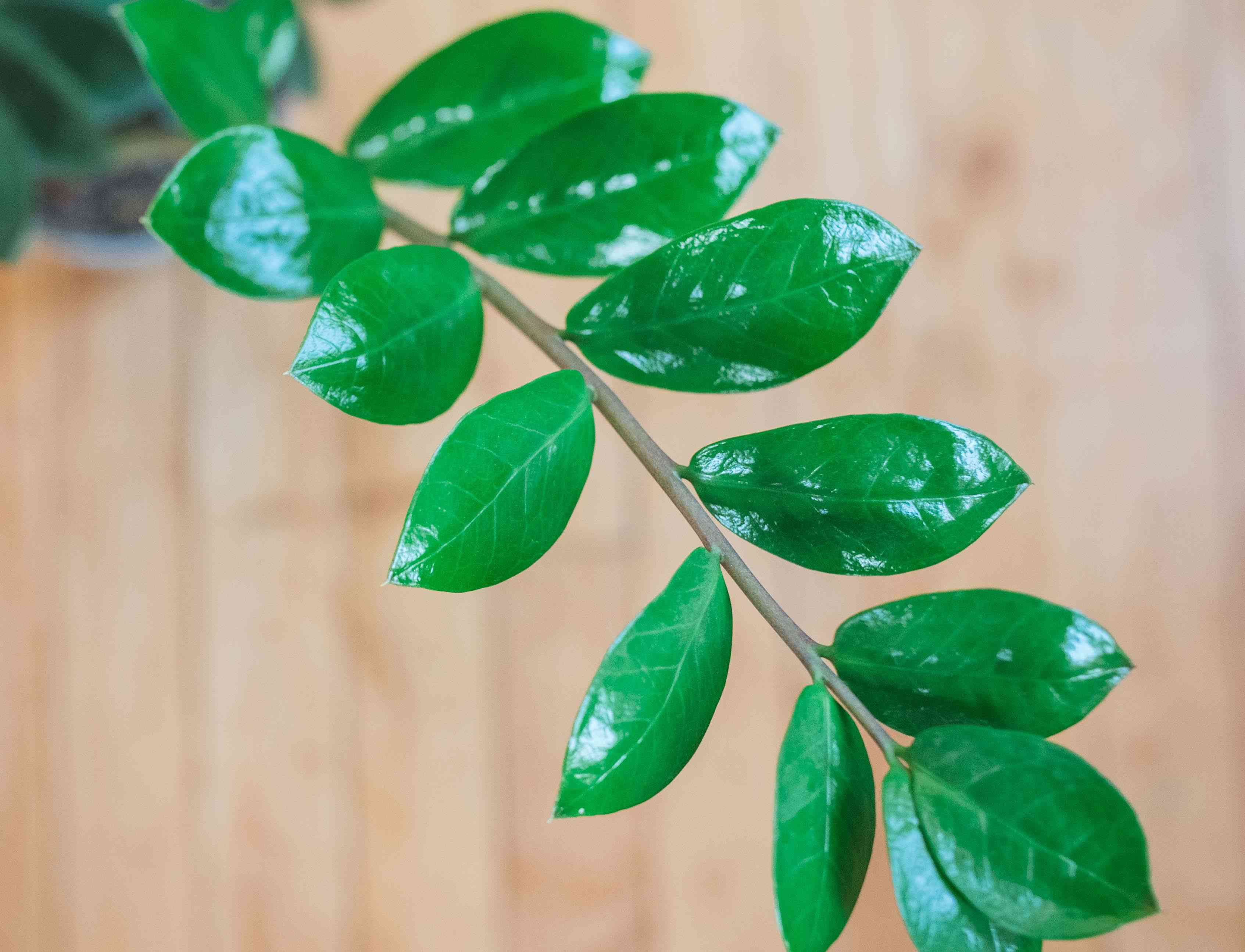 shot of single zz plant stem with shiny bright green leaves against wood floor