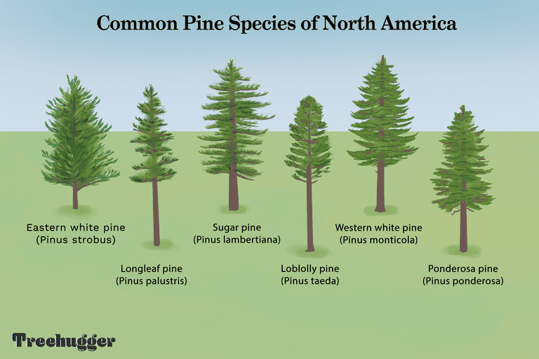 common North American pine species tree illo