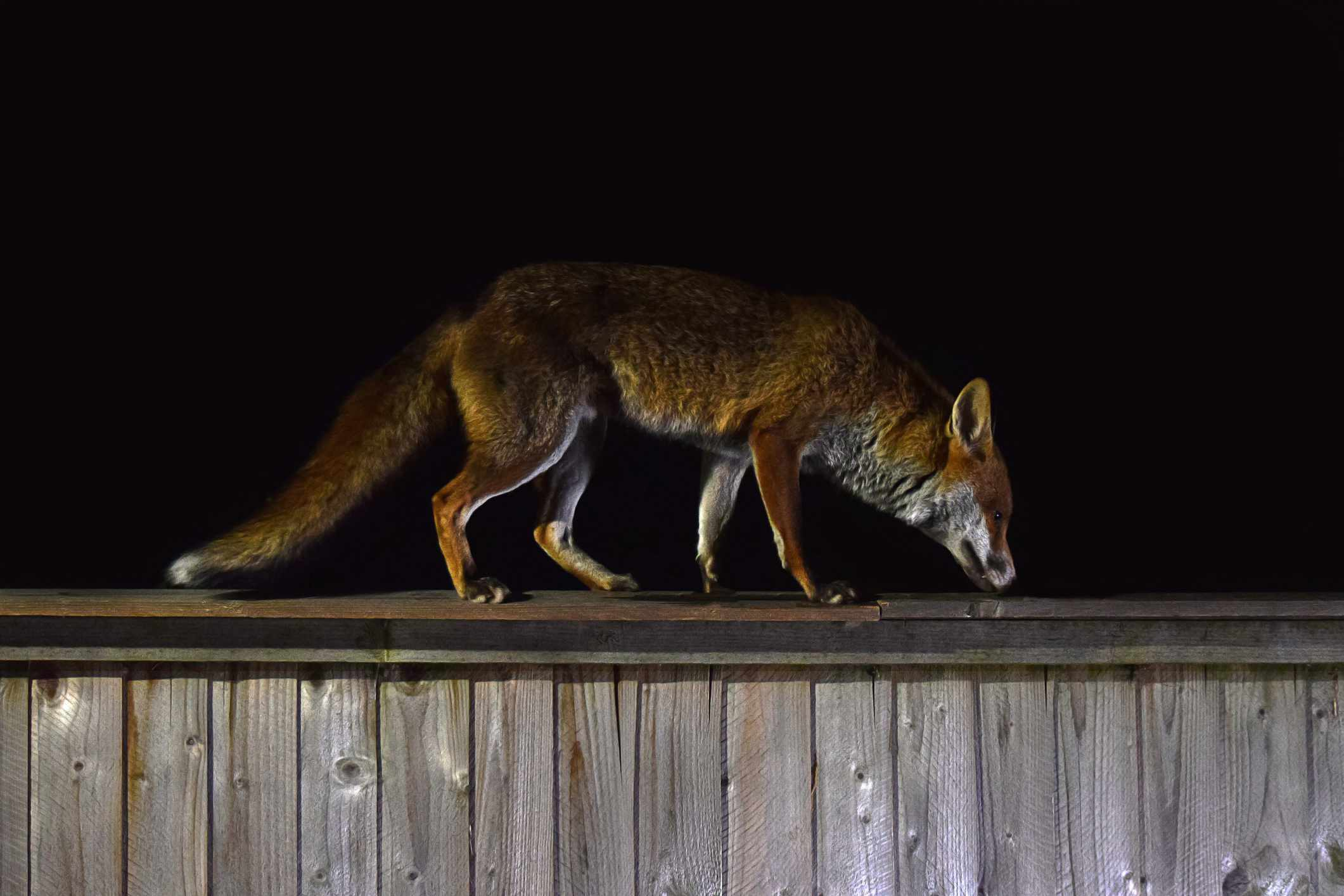 red fox climbs along fence at night