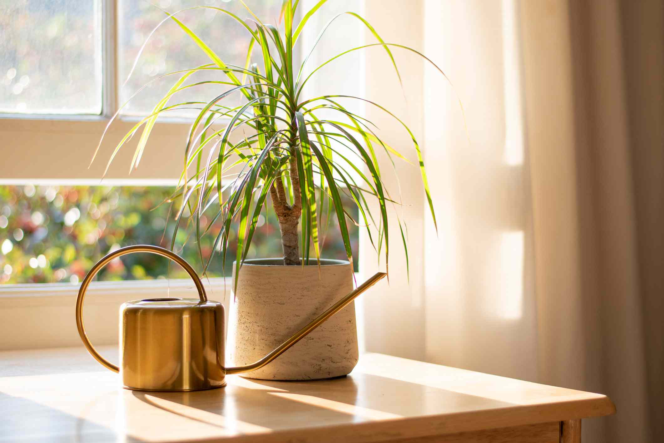 A dragon tree in a pot next to a metal watering can in a sunny room