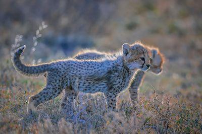 Backlit Cheetah cubs in Ndutu Conservation Area, Tanzania, East Africa
