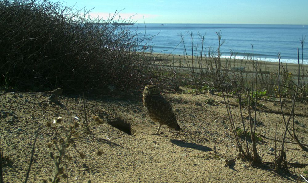A burrowing owl stands near in its den in the LAX Dunes