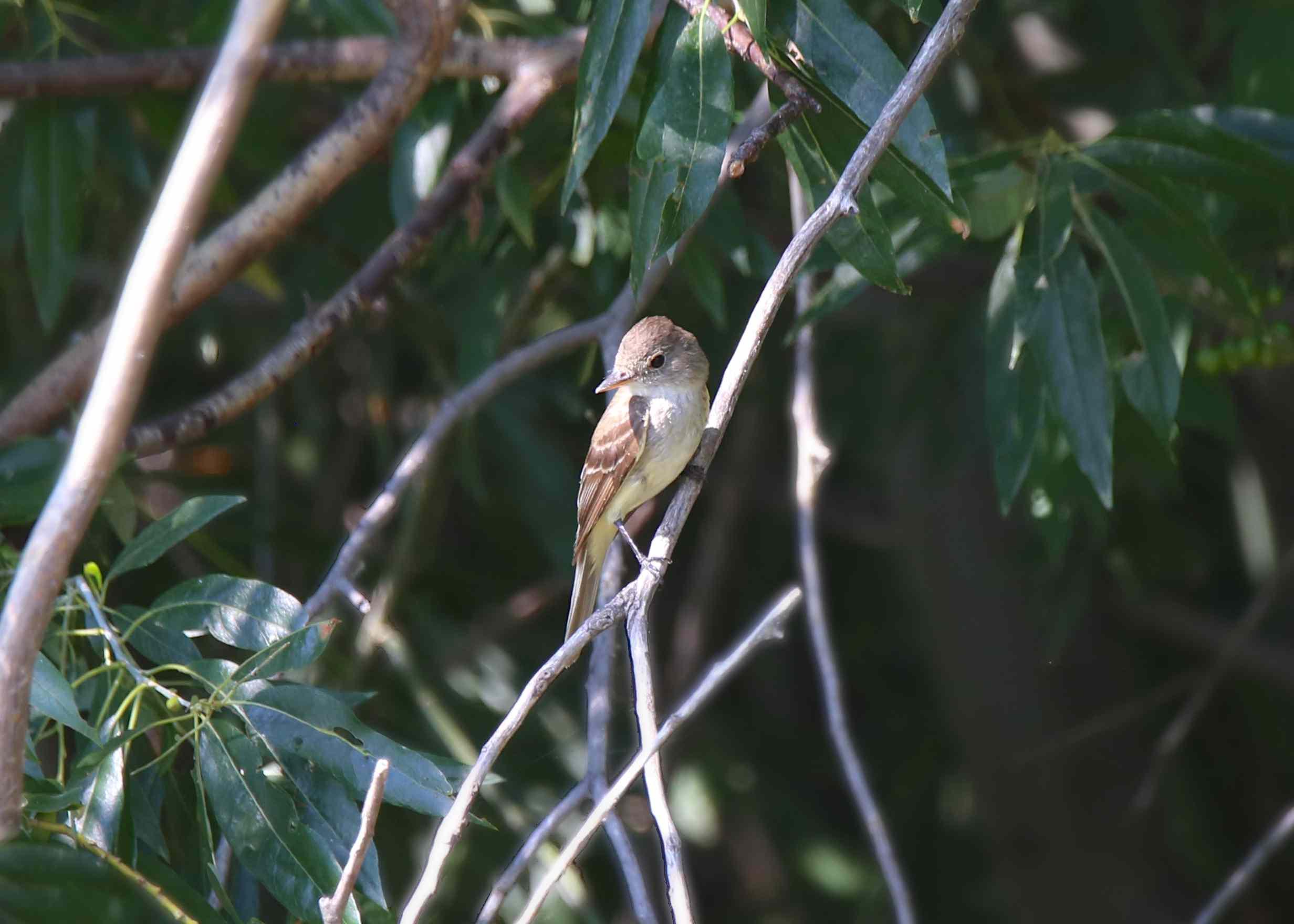 ash-throated flycatcher bird