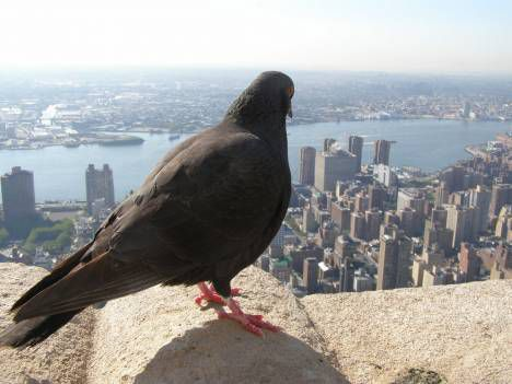 pigeon in nyc photo