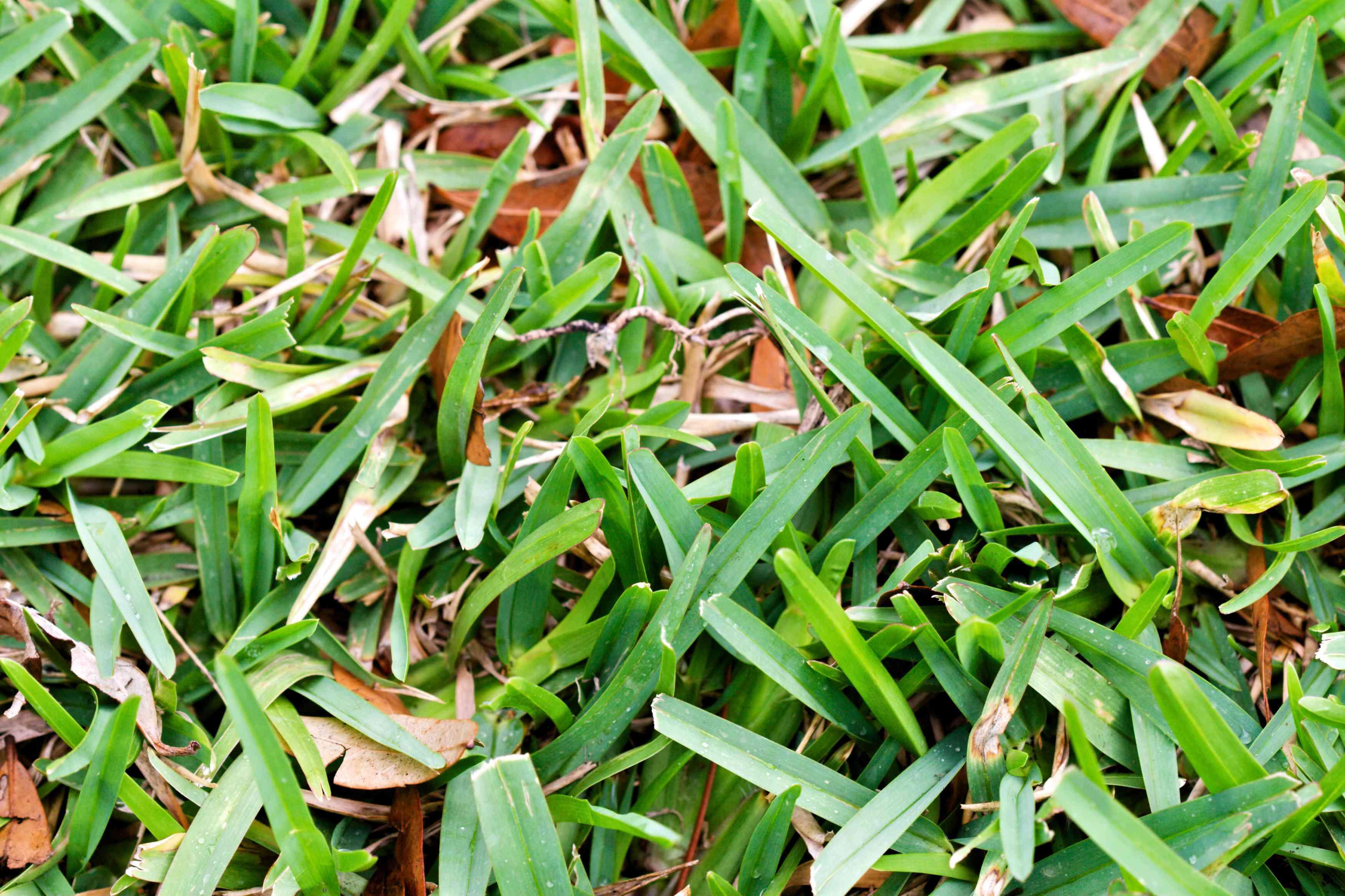 A close up shot of short, green grass