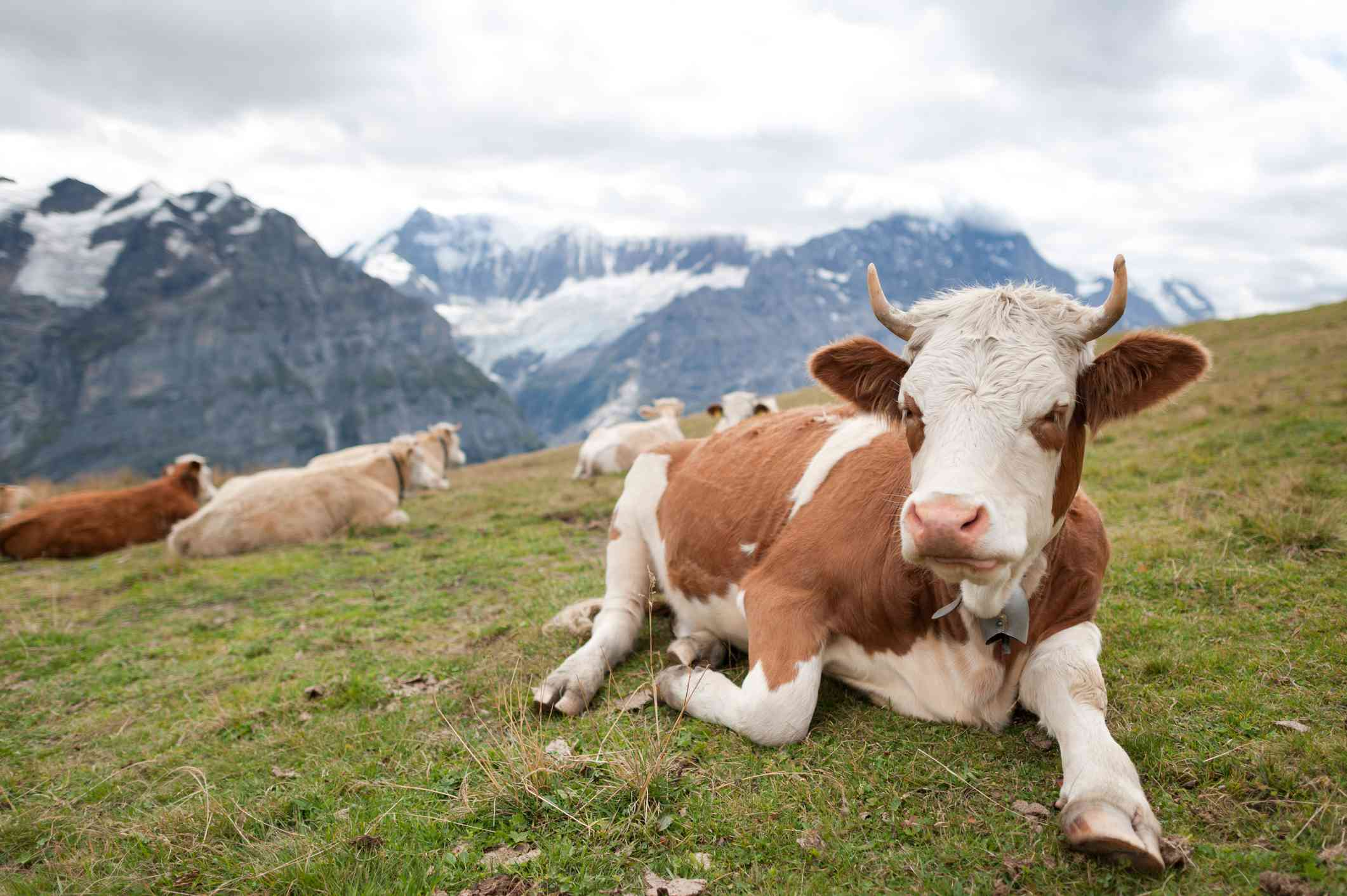 A brown and white cow lies in the grass in front of a backdrop of snow-capped mountains