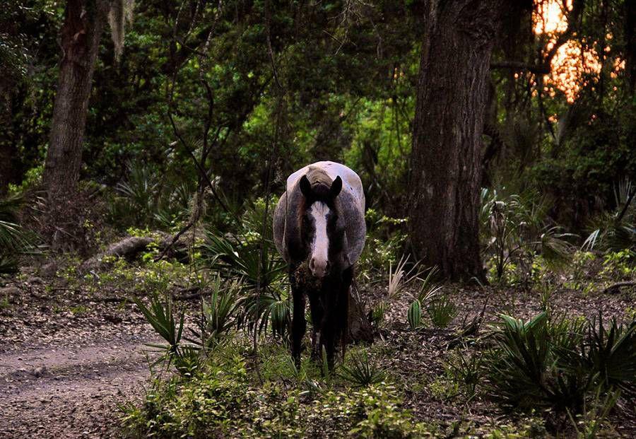 Cumberland Island: Feral horse