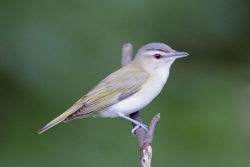 The call of the red-eyed vireo can remembered if you just think of a game of hide-and-seek.