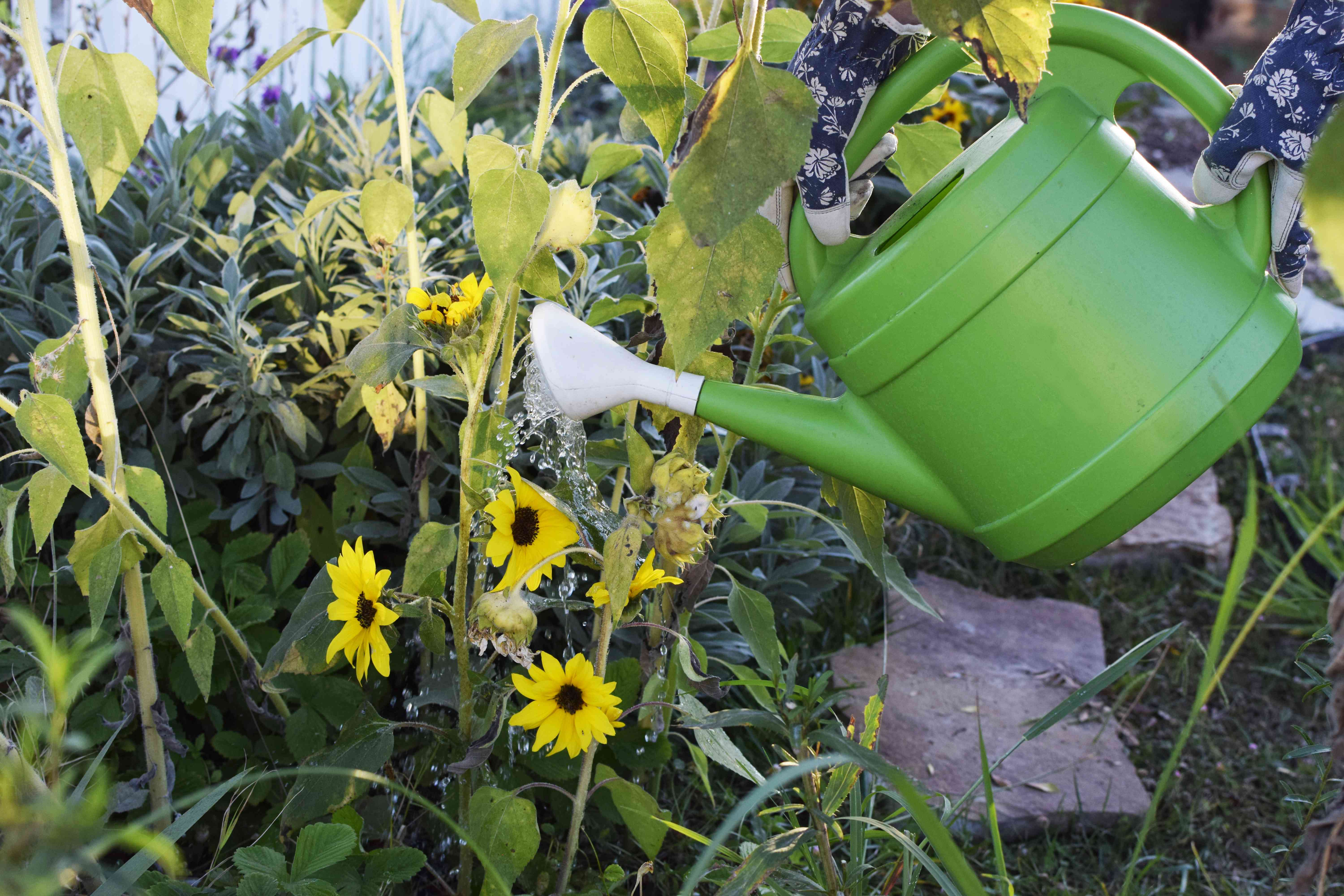 green watering can is used to water batch of sunflowers growing in personal garden