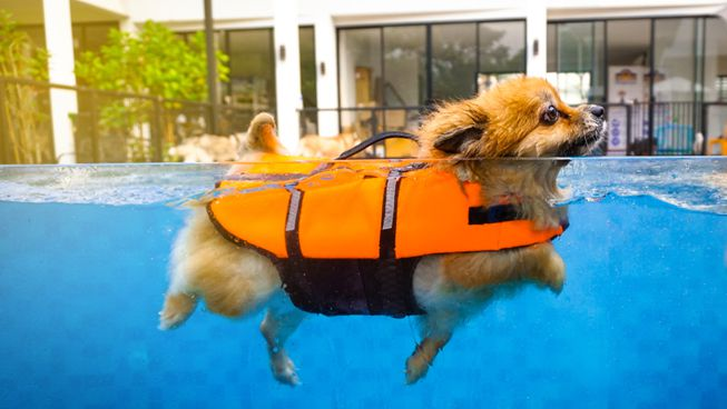 A small dog wears a life jacket while swimming in the pool