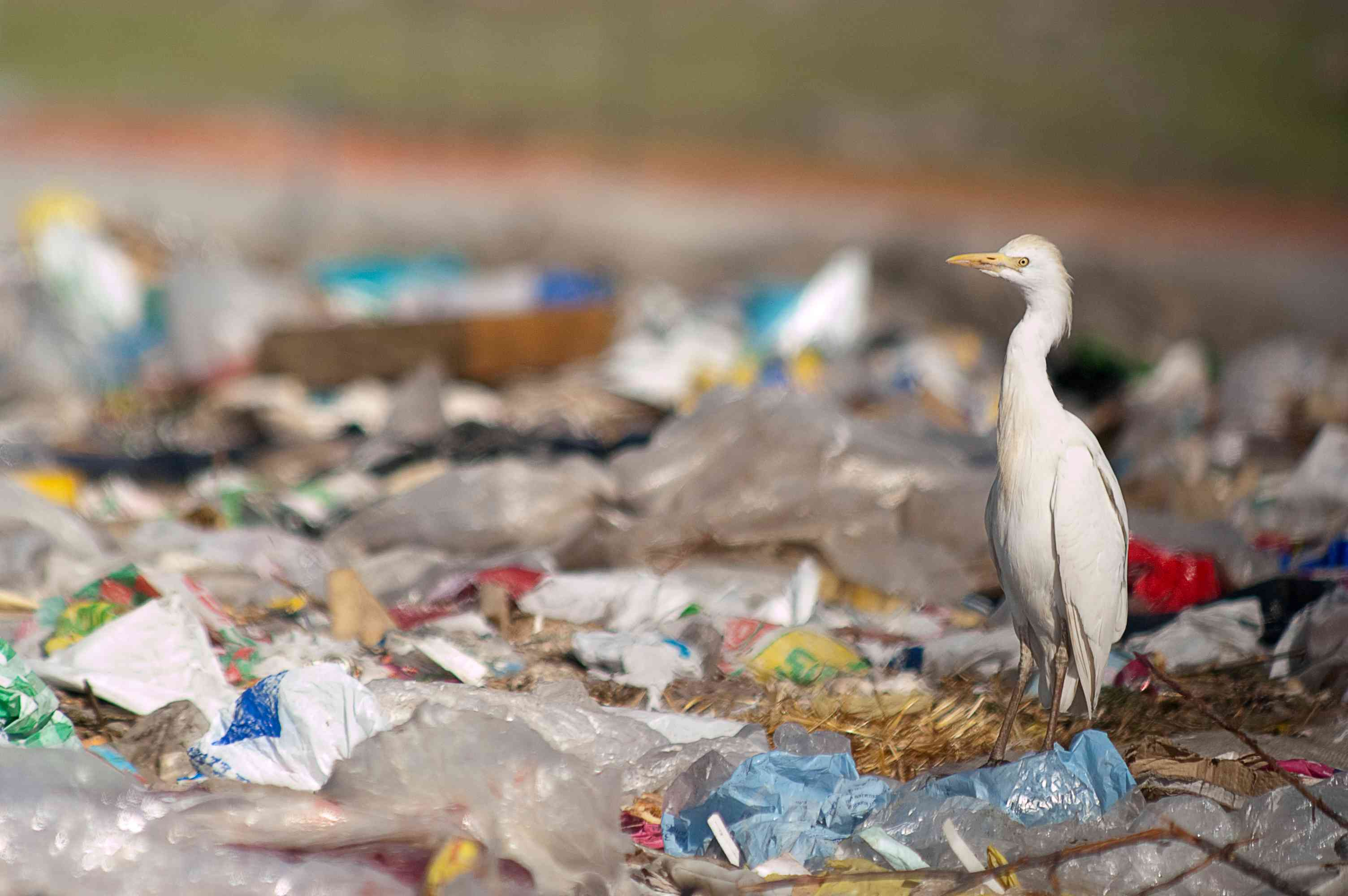 A egret looking for food in a dump.