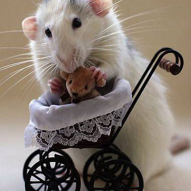 A rat places a teddy bear in a tiny baby carriage