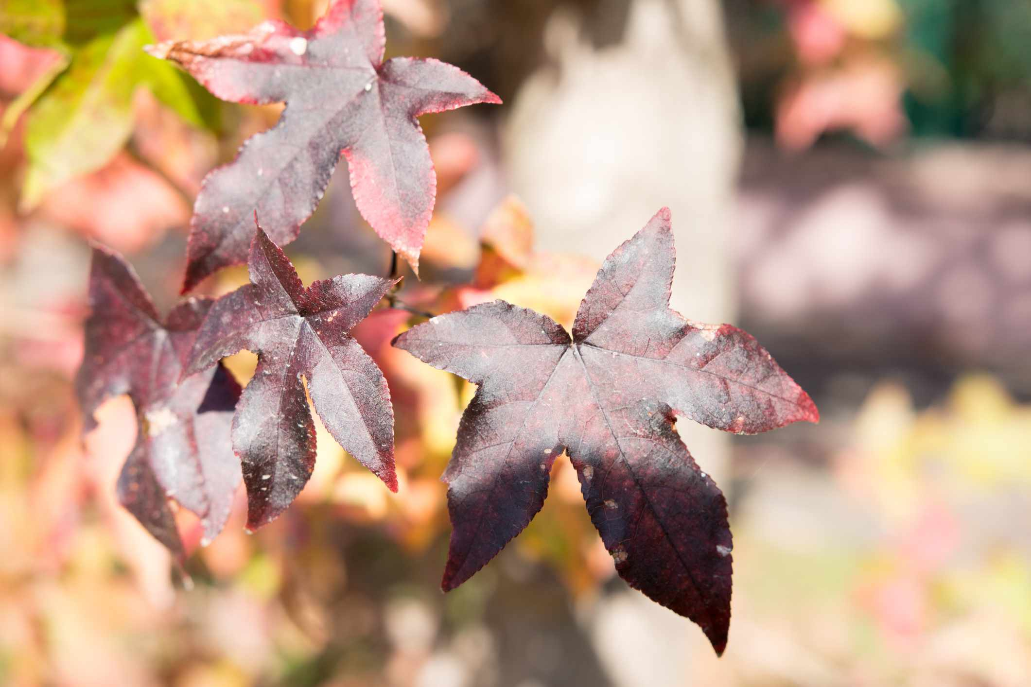 Red Sweetgum leaves in autumn light.
