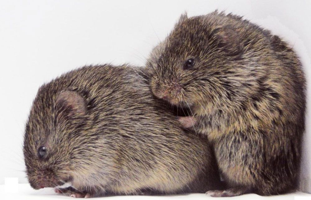 pair of Prairie voles