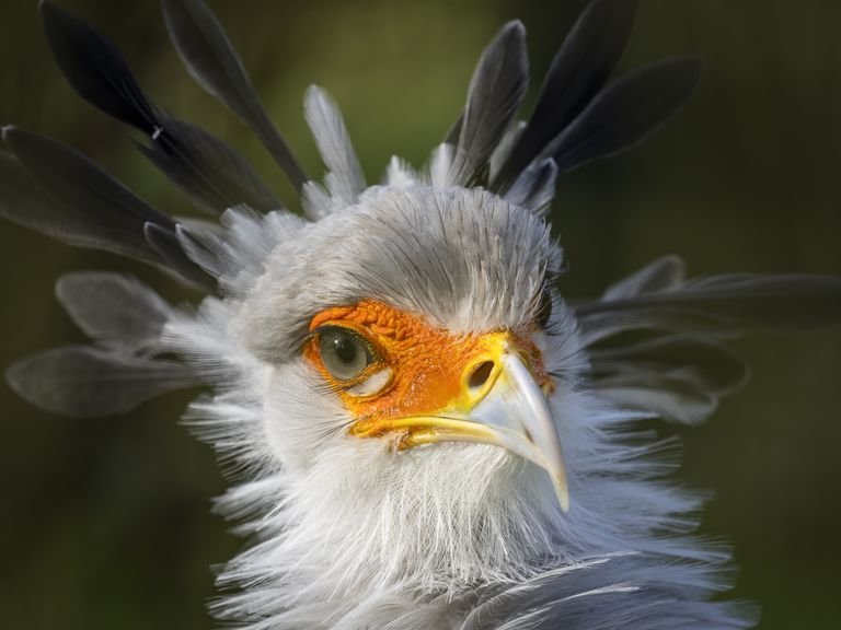 A Secretary Bird Portrait