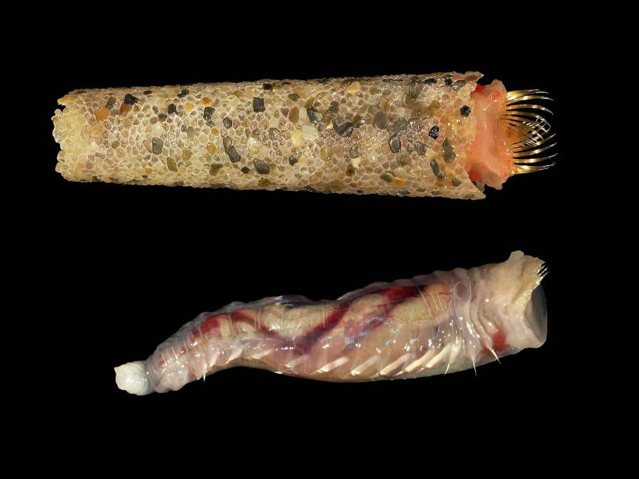 pink and white ice cream cone worm inside its tube and without its tube