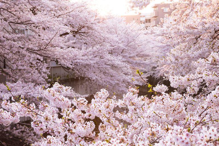 Todos deberíamos adoptar 'Hanami', la tradición japonesa de ver flores