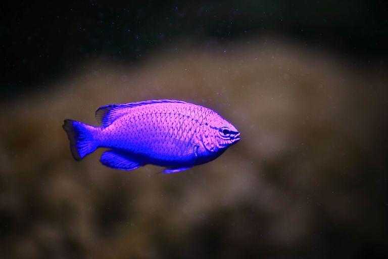 Cómo el zafiro marino se vuelve iridiscente o invisible en un instante