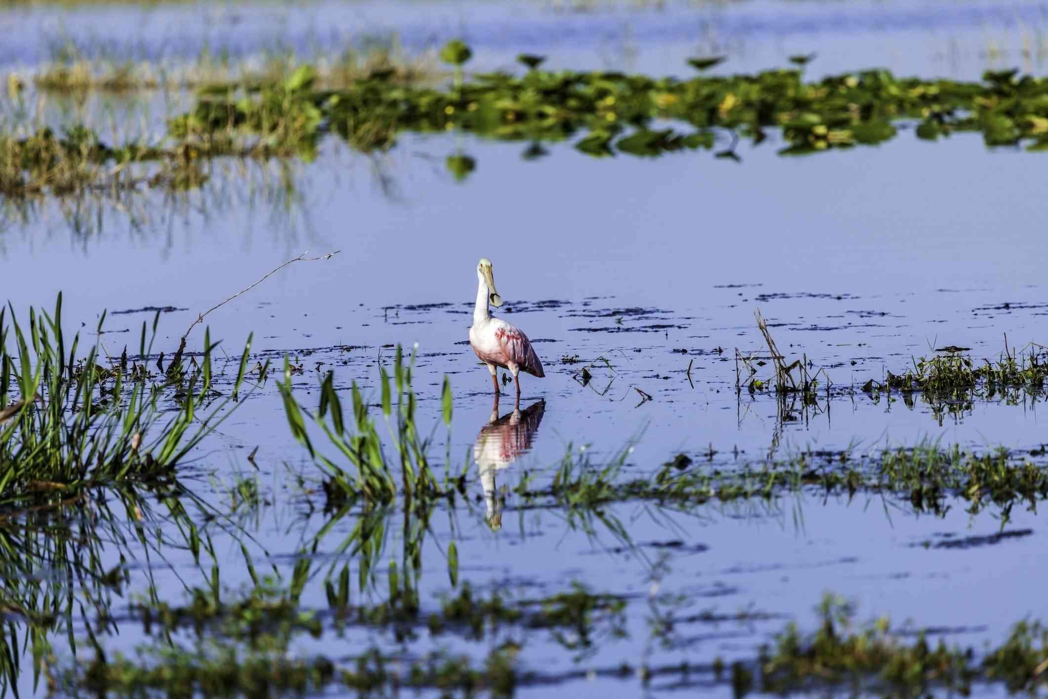 pink roseate spoonbill in the marshes of Merritt Island National Wildlife Refuge