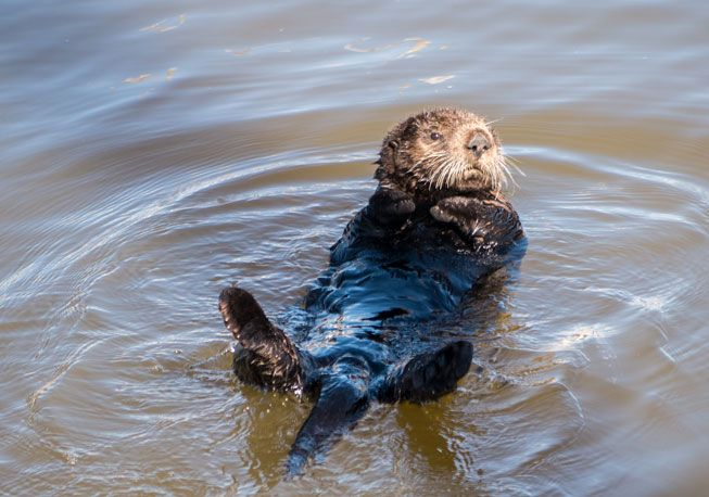 A sea otter floats in the sunny waters of Moss Landing