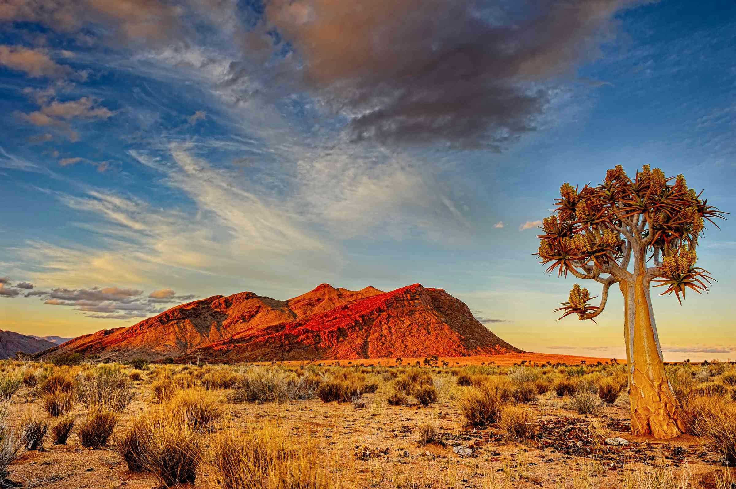 Quiver tree and red mountain in Kalahari Desert at dusk