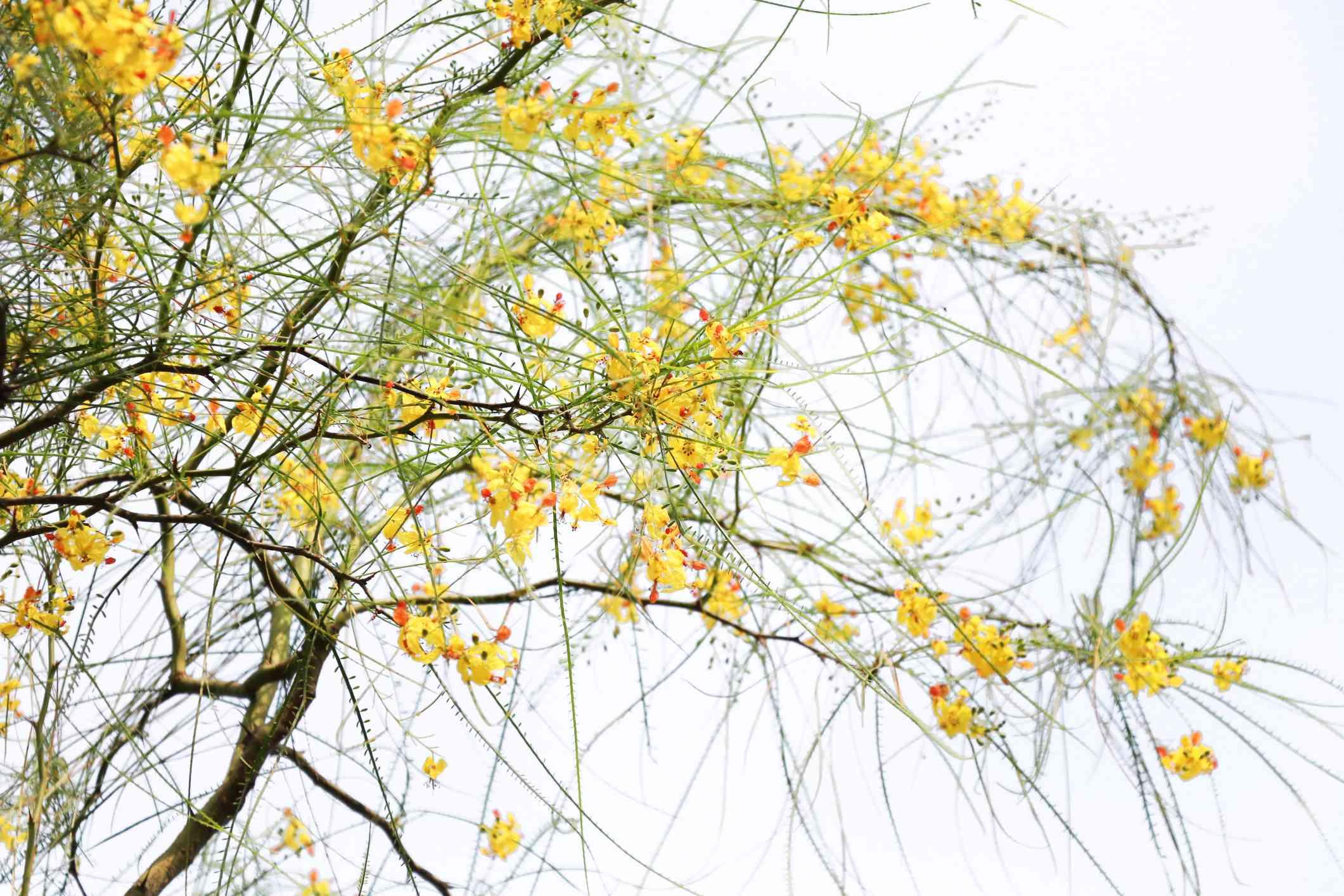 Palo Verde (Parkinsonia aculeata)