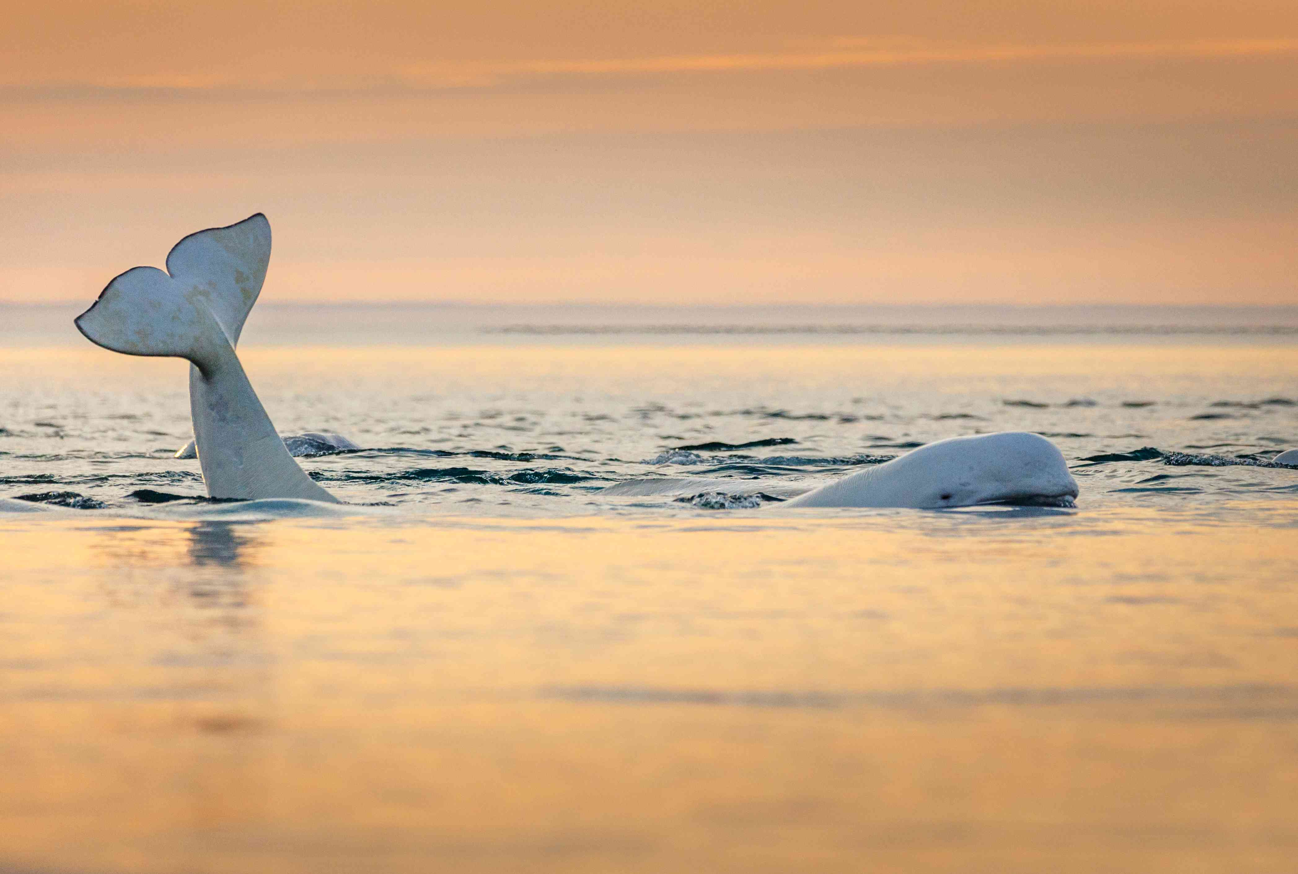 A beluga surfaces at sunset near Somerset Island in the Canadian Arctic.