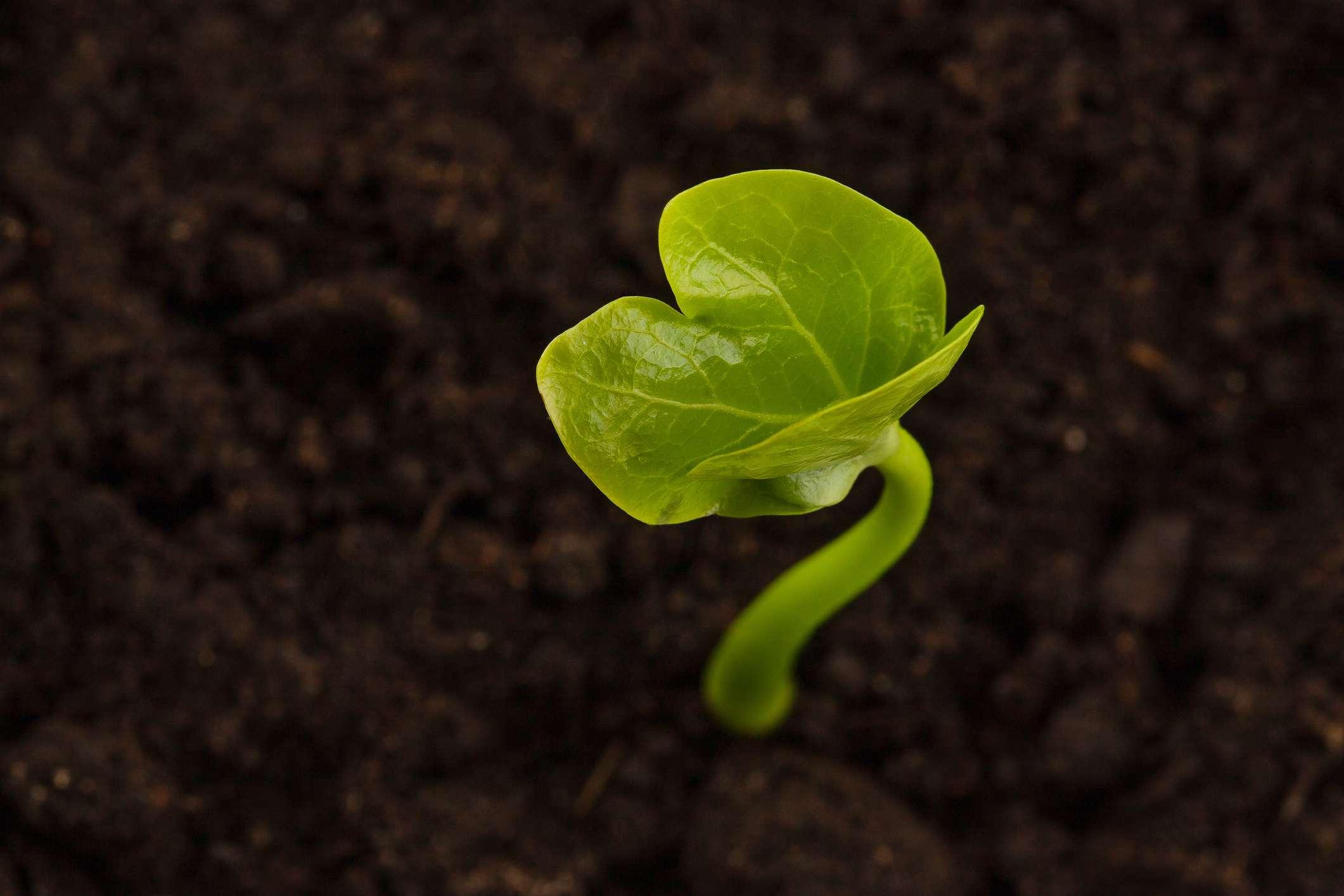 Persimmon seedling growing in dirt.
