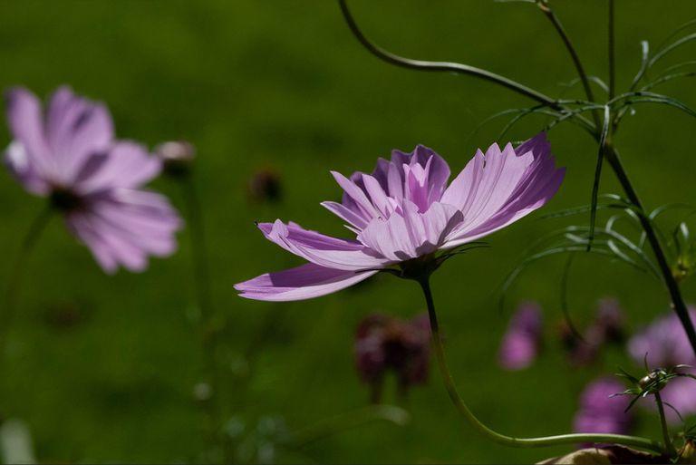 Close up of purple cosmos flowers