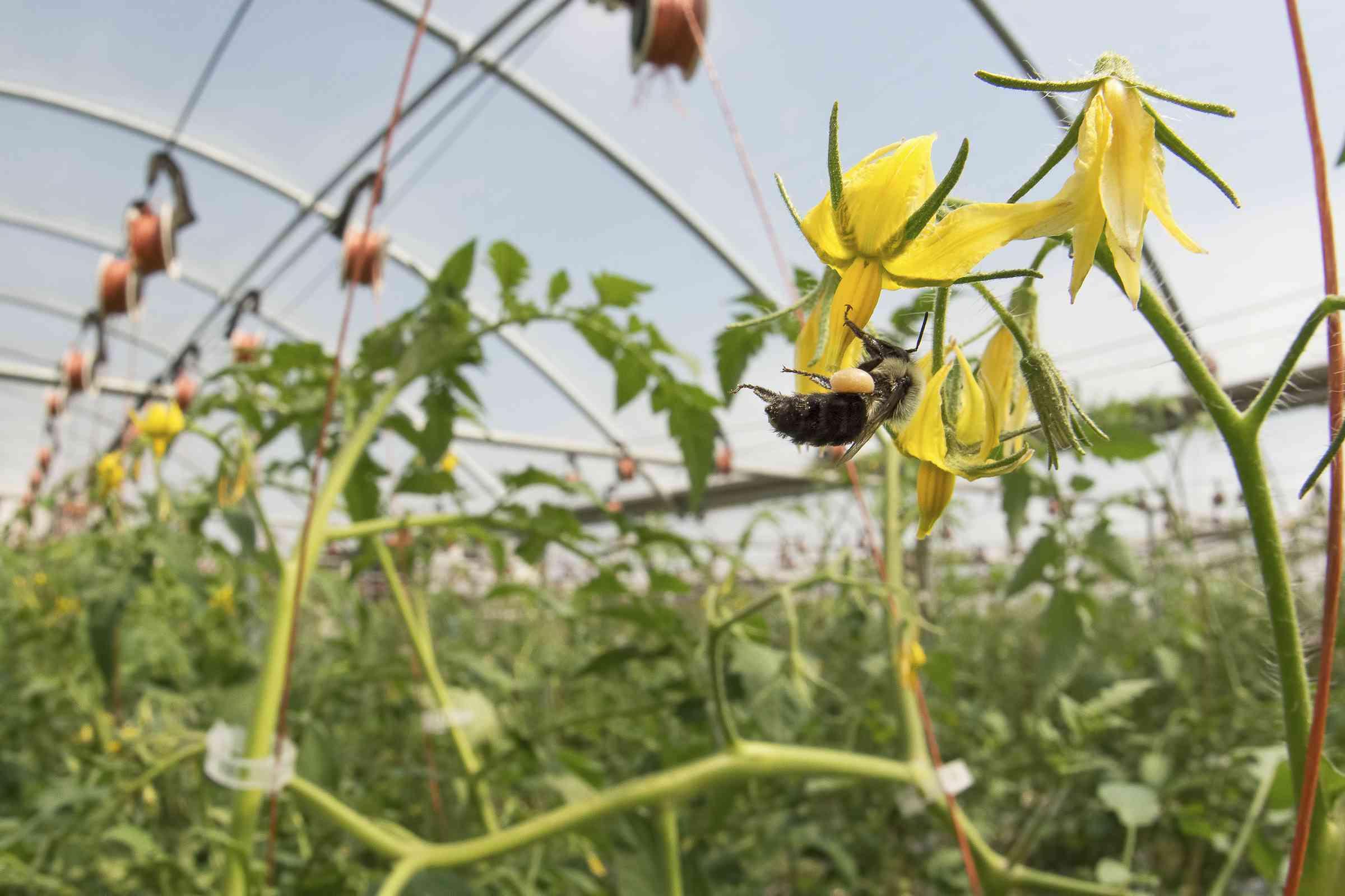 wild bee tomato blossom