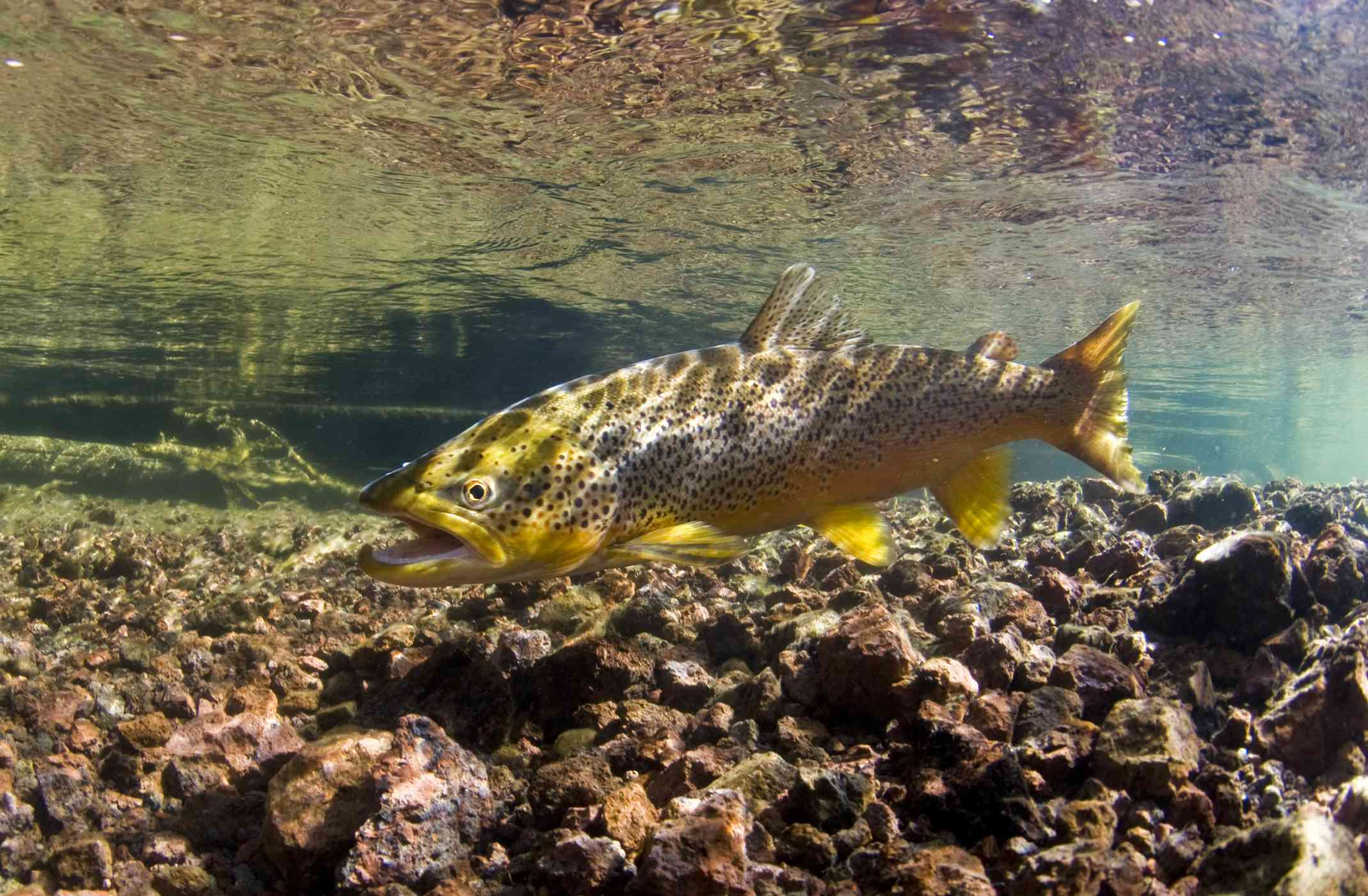 a spawning brown trout in shallow water with rocks below