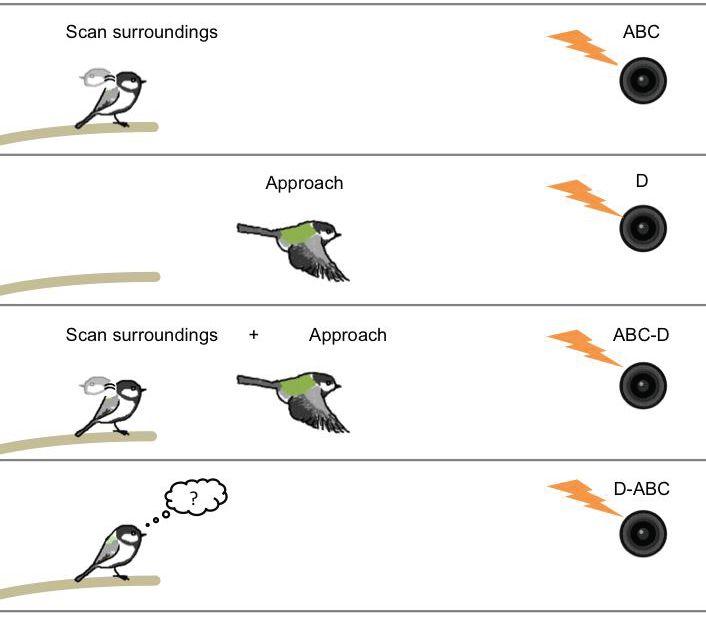 syntax in birds