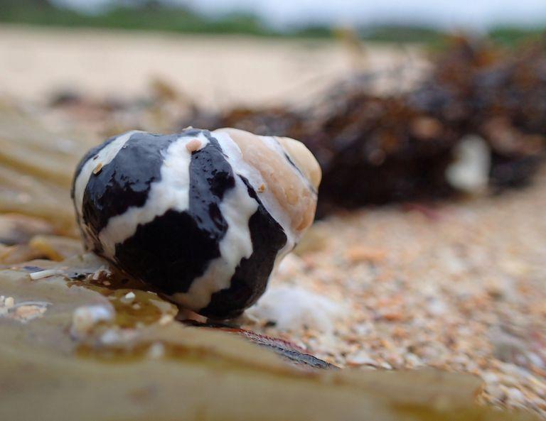 A zebra winkle shell on the beach
