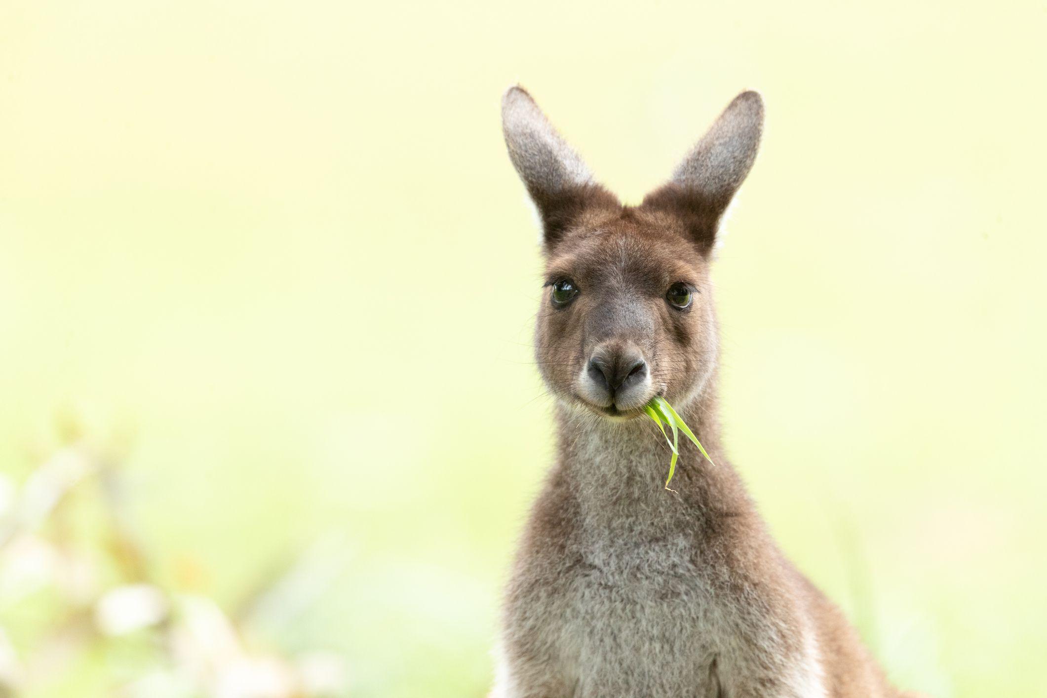 A western gray kangaroo chews on grass.