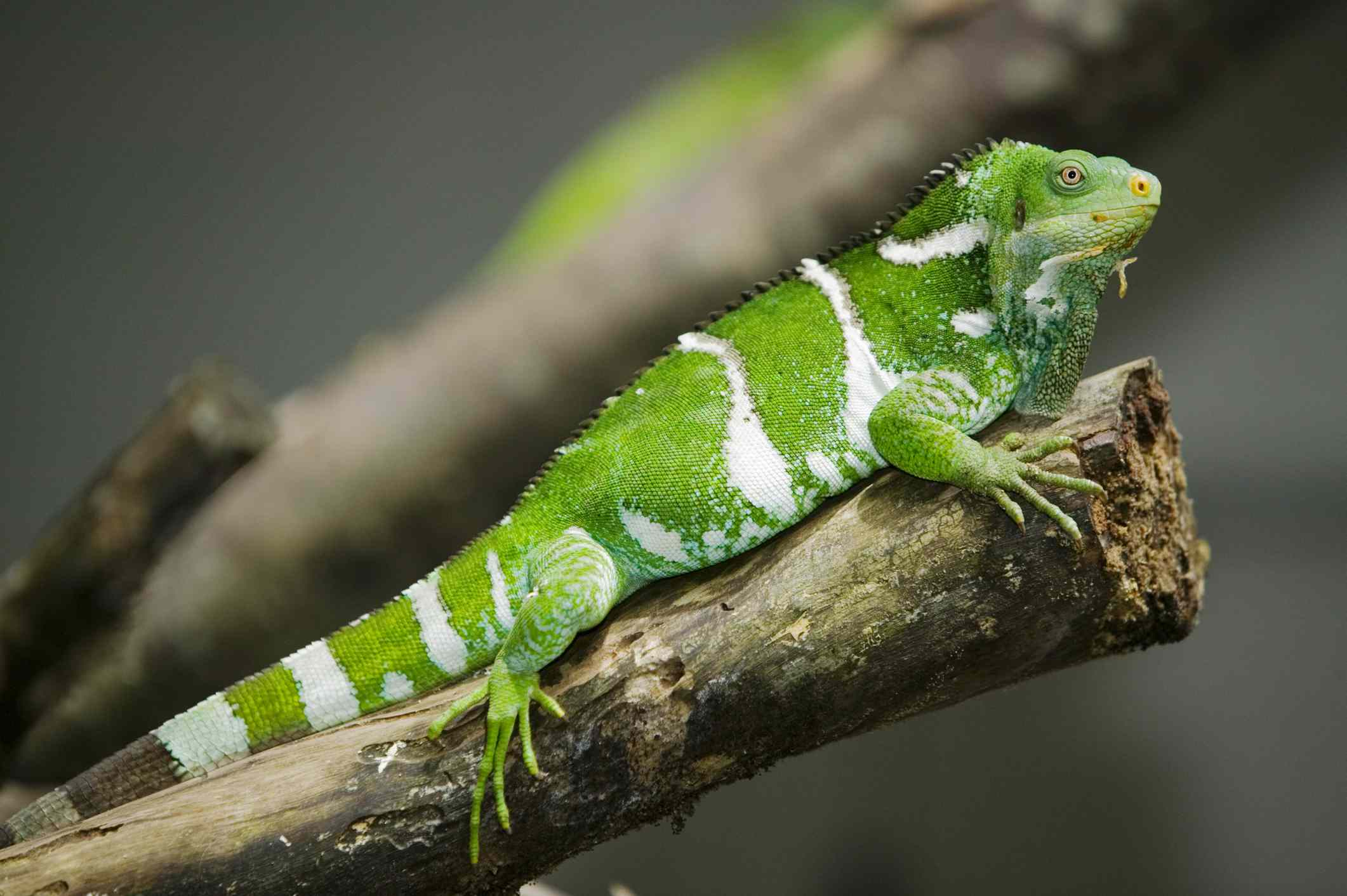 Green and white striped Fiji banded iguana on a tree branch