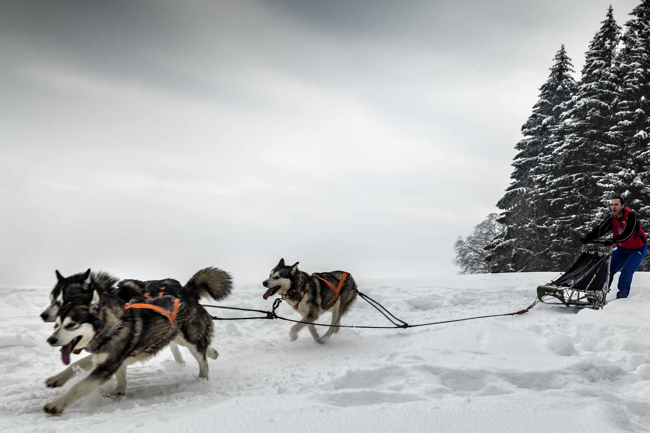Three Siberian huskies pulling a man on a sled