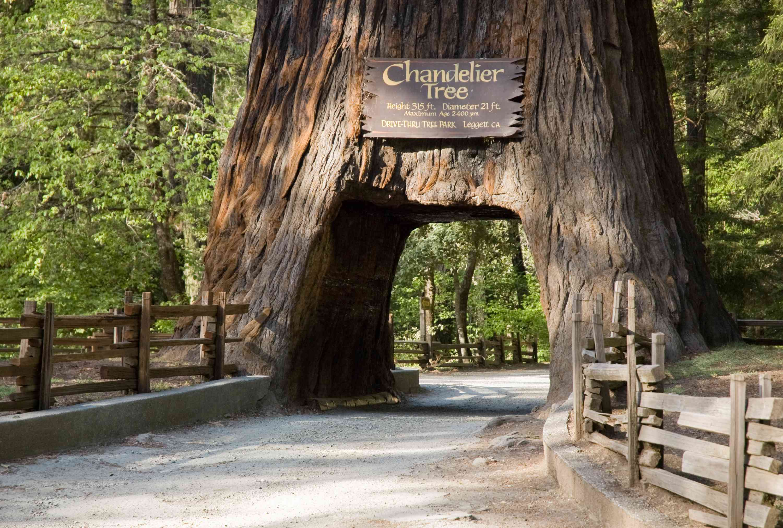 Road traveling through an arch cut into the Chandelier Tree