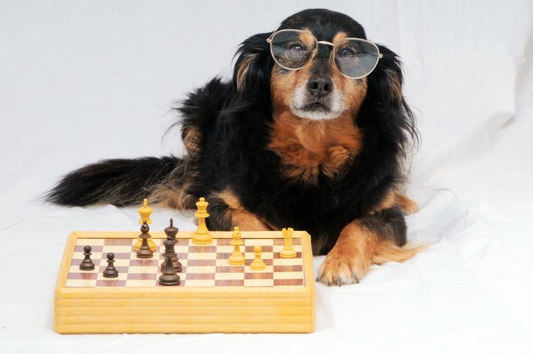 brown dog wearing sunglasses stretched out in front of a chess board