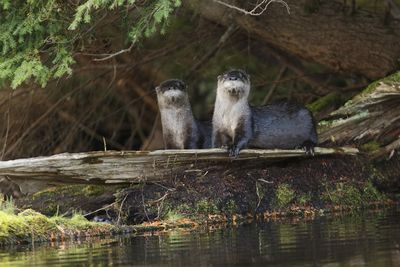 A pair of river otters resting on a log at the shoreline